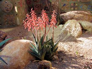 Алоэ Пестрое (Aloe Variegata)     Алоэ Пестрое. Листья собраны в прикорневую розетку, располагаются тремя плотными, спирально закрученными рядами. Они длиной 10-15 см, треугольно-ланцетные, килеватые, с мелкими мягкими шипами по краю, зеленые, неправильной формы поперечными полосами, состоящими из мелких белых пятен.