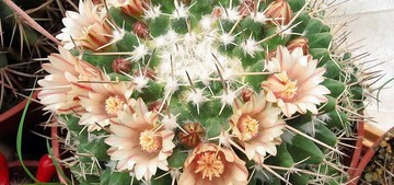 Маммиллярия крупнососочковая, Mammillaria magnimamma