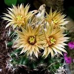 Эскобария миссурийская — Escobaria missouriensis