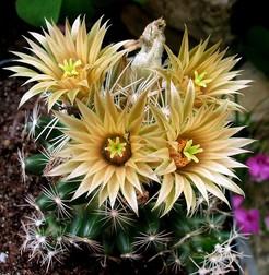 Кактус Эскобария миссурийская - Escobaria missouriensis, описание и фото