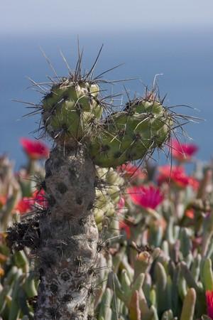 Опунция прорастающая, Opuntia prolifera