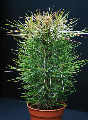 Дидиерея мадагаскарская (Didierea madagascariensis)