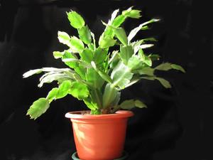 Семейство кактусов, колючки кактусов, кактусы, зигокактус, декабрист