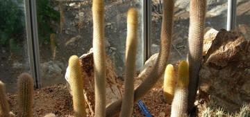 Кактус Хагеоцереус пестроцветный - Haageocereus versicolor, описание и фото