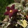 Караллума Гесперидум (Caralluma Hesperidum) Стебли прямостоячие, до 20 см высотой и до 4 см в диаметре, серо-зеленые с бурым рисунком, 4-гранные. Цветки появляются в средней части побегов; они темно-красные, бархатистые, диаметром до 2 см.