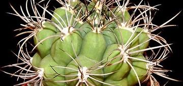 Родина Брахикациума север Аргентины. Это монотипный род (род, в состав которого входит всего только вид), представленный видом Вrachycalycinum tilcarense (Backbg.).
