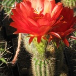Эхинопсис хуаша красноцветковый — Echinopsis huascha rubriflora