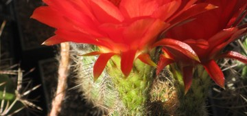 Кактус Эхинопсис хуаша красноцветковый - Echinopsis huascha rubriflora, описание и фото