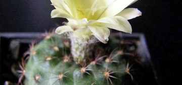 Кактус Frailea americana, описание и фото