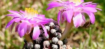 Маммиллярия Терезы, Mammillaria theresae