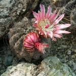 Неопортерия вьющаяся — Neoporteria crispa