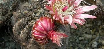 Неопортерия вьющаяся, Neoporteria crispa