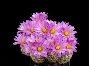 Цветение кактуса. как заставить кактус цвести. Чтобы кактус зацвел - необходим правильный уход