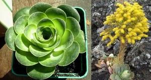 Greenovia aurea (Гриновия золотистая). сукклент Гриновия (Greenovia, семейство Толстянковые) состоит всего из четырех видов
