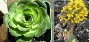 Greenovia aurea (Гриновия золотистая). сукклент Гриновии - небольшие вечнозеленые растения с очень коротким стеблем. Гриновия (Greenovia, семейство Толстянковые) назван в честь известного английского геолога XIX века Джорджа Гриноу.