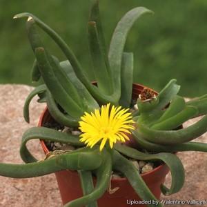 Глотифиллум Нели (Glottiphyllum Nelii)    Листья блестящие, серо-зеленые, краснеющие на солнце, языковидные, длиной 11-12 см, косо обрубленные, кончик листа немного загнут.