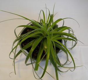 Гехтия Тиллансиевидная (Hechtia Tillandsioides)     Гехтия Тилландсиевидная. Листья мясистые, ремневидные, ярко-зеленые, гладкие, с небольшим количеством колючек, образуют пышную розетку диаметром 60 см. Цветки мелкие, розоватые, диаметром 5 мм, собраны в колосовидное соцветие на длинном цветоносе, выходящие сбоку розетки. Синоним: Гехтия Пурса (Hechtia purpusii).