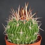Эхинофоссулокактус многореберный — Echinofossulocactus multicostatus