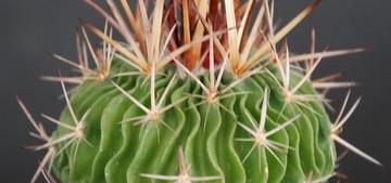 Кактус Эхинофоссулокактус многореберный - Echinofossulocactus multicostatus, описание и фото