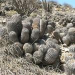 Копиапоя пепельная Хэзелтона — Copiapoa cinerea haseltoniana