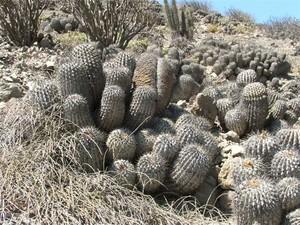 Копиапоя пепельная Хэзелтона, Copiapoa cinerea haseltoniana, копиапоя, фото
