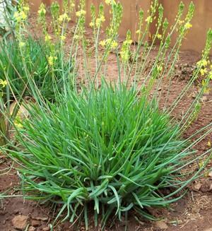 Бульбина кустарниковая (Bulbine frutescens). Род Бульбина (Bulbine) (сем. Лилейные) включает около 30 видов растений, родиной которых является Южная Африка. Несколько видов, имеющих австралийское происхождение, ранее выделяли в самостоятельный род Bulbinopsis.