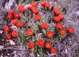 Кактус Эхиноцереус шарлаховый - Echinocereus coccineus, описание и фото