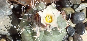 Кактус Турбиникарпус Хофера - Turbinicarpus hoferi, описание и фото