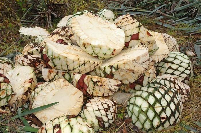 Эти цердцевины агав - самое ценное, именно ради них выращивают агавы для изготовления текилы. Вот вот эти ценные сердцевины поедут на спиртовой завод.