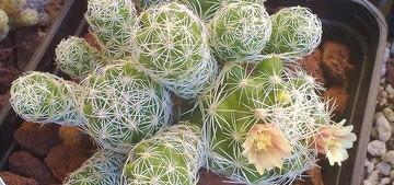 Маммиллярия стройная, Mammillaria gracilis