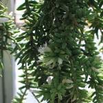 Рипсалис мезембриантемовый — Rhipsalis mesembryanthemoides