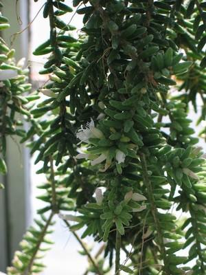 Рипсалис, мезембриантемовый, Rhipsalis, mesembryanthemoides, кактус, фото, описание, уход