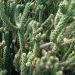 Аустроцилиндропунция цилиндрическая — Austrocylindropuntia cylindrica
