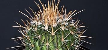 Кактус Стенокактус сернисто–желтый - Stenocactus sulphureus, описание и фото