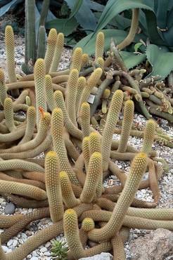 Клейстокактус двадцатиугольный, Cleistocactus icosagonus, кактус