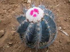 Мелокактус лазурный, Melocactus azureus