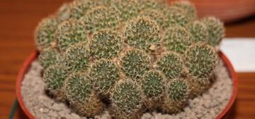 Медиолобивия, Mediolobivia / Rebutia brunescens