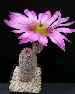 Кактус Эхиноцереус бристольский - Echinocereus bristolii, описание и фото
