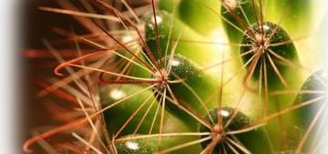 Применение кактусов мир кактусов уход за кактусами