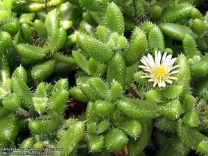 Делосперма Шиповатая (Delosperma Echinatum)     Кустарничек высотой до 20 см. Листья длиной до 13 мм, шириной и толщиной 6-7 мм, покрыты многочисленными беловатыми папиллами. Листья обычно зеленые, но при сильном освещении краснеют. Цветы сидячие, белые или желтоватые, диаметром до 15 мм, развиваются на концах побегов.