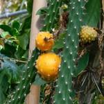 Гарризия изящная — Harrisia gracilis