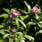 Переския крупнолистная — Pereskia grandifolia