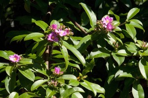 Переския крупнолистная, Pereskia grandifolia