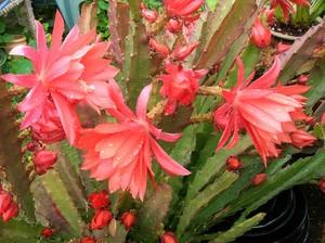 Disocactus-ackermannii