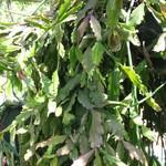Рипсалис ромбический — Rhipsalis rhombea