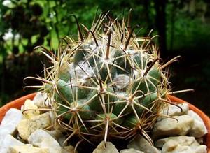 Корифанта Хинтона подвид Джеффри , Coryphantha hintoniorum subsp geofreyi, описание, фото