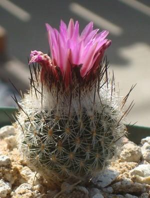 Кактус Турбиникарпус - Turbinicarpus booleanus, описание и фото