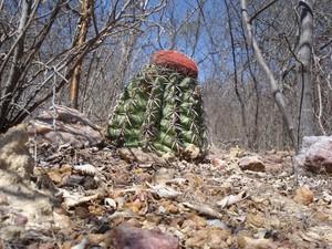 Мелокактус байский, Melocactus bahiensis