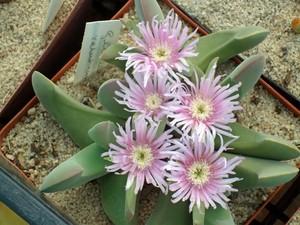 Гиббеум Велутинум (Gibbaeum Velutinum)    Листья длиной до 6 см, с бархатистой поверхностью. Цветки обычно белые или розовые, диаметром до 5 см.