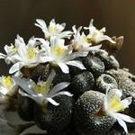 Блоссфелдия миниатюрная — Blossfeldia liliputana